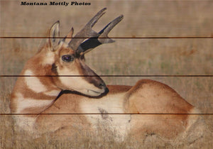 Antelope Buck Wildlife Photo Picture Wall Hanging 20 by 14 Wile E. Wood Art™