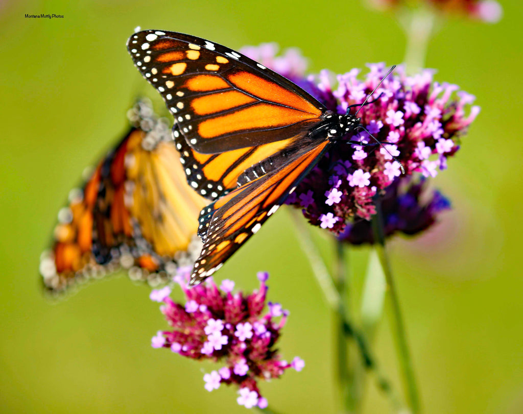 Butterflies Monarchs Photo Greeting Cards/Note Cards - Set/8