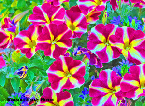 Bright Pink Petunias Flowers Photo Picture Wall Hanging 11 by 15 Wile E. Wood Art™