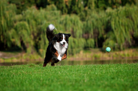 Your dog can stay active with Lloyd and Lucy's Pet Supplies' joint care supplements for dogs.