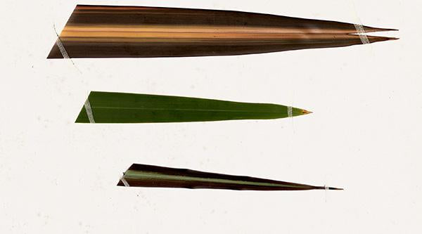 The Science of Nature: Harakeke Flax - Phormium tenax