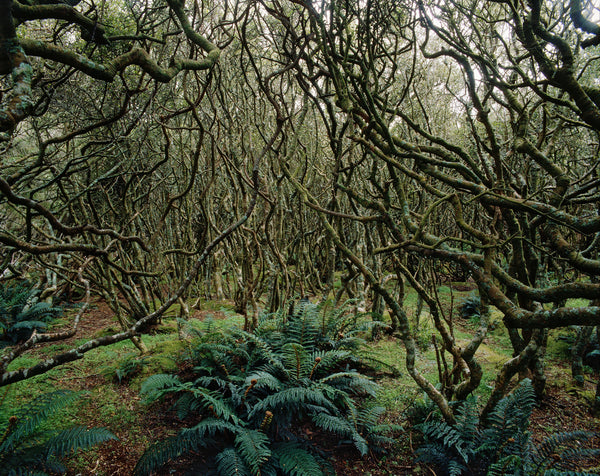 Subantarctic Forest