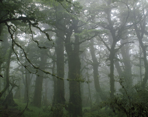 Beech Trees in Mist II