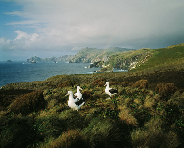 Royal Albatrosses