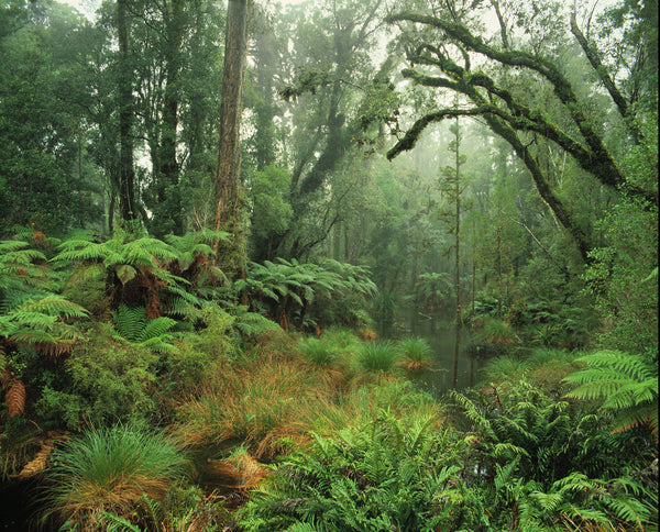 Rainforest, South Westland Greeting Card