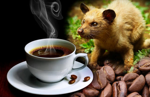 arabica coffee, gourmet coffee, types of coffee beans, types of coffee, kopi luwak, kopi luwak coffee, civet coffee, cat poop coffee, kopi luwak beans