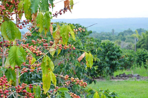best kona coffee beans, hawaiian coffee, best kona coffee hawaii, best coffee beans in the world
