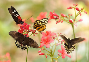 Beautiful tropical butterflies on a red flowers Wall Mural Wallpaper - Canvas Art Rocks - 1