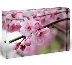 Broken blooming cherry branch Acrylic Block - Canvas Art Rocks - 1