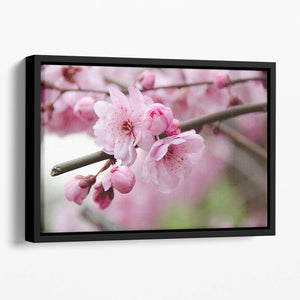 Broken blooming cherry branch Floating Framed Canvas