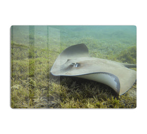Darkspotted stingray HD Metal Print
