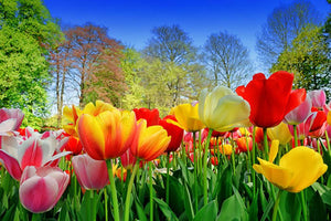 Fresh multicolored tulips in a spring park Wall Mural Wallpaper - Canvas Art Rocks - 1