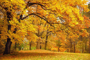 Gold Trees in a park Wall Mural Wallpaper - Canvas Art Rocks - 1
