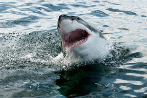Great white shark Wall Mural Wallpaper - Canvas Art Rocks - 1