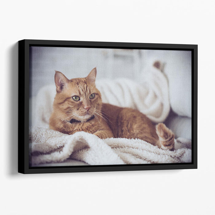 Large home fluffy ginger cat lying on the sofa Floating Framed Canvas
