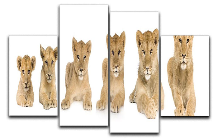 Lion cub growing 4 Split Panel Canvas