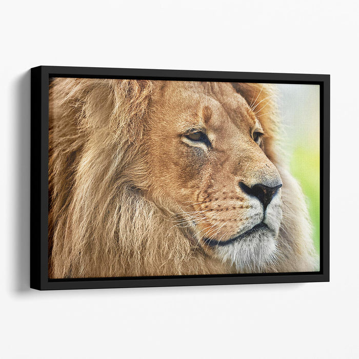 Lion portrait on savanna Floating Framed Canvas