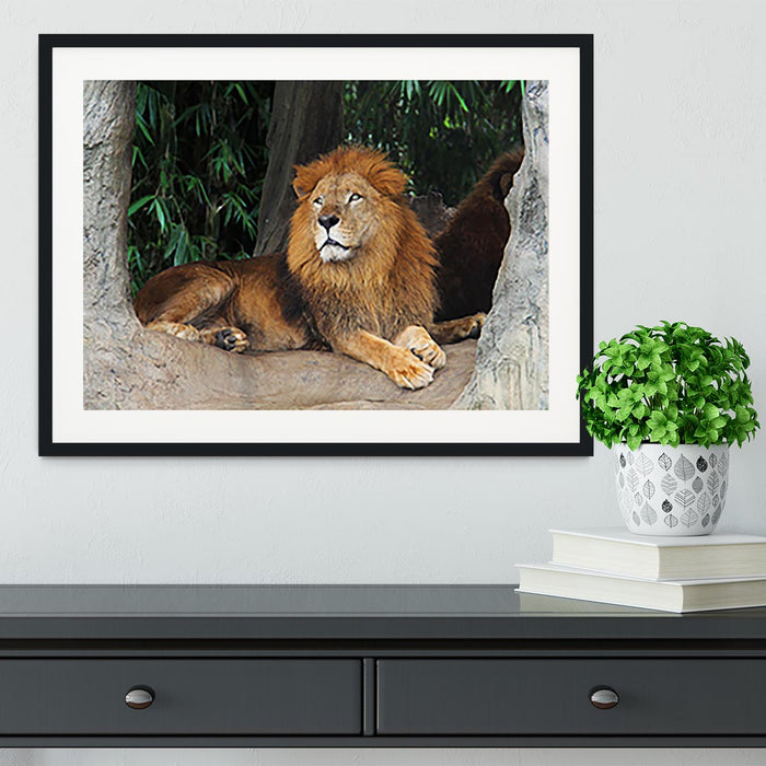 Lion resting on a tree Framed Print