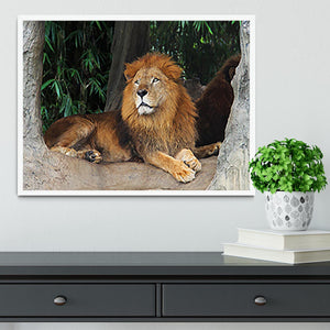 Lion resting on a tree Framed Print - Canvas Art Rocks -6