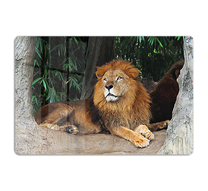 Lion resting on a tree HD Metal Print