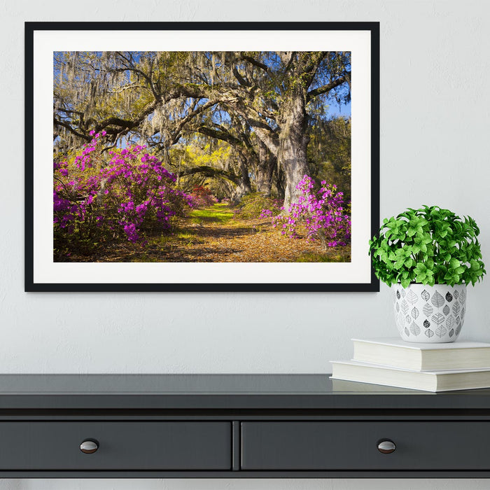 Live oak trees in morning sunlight Framed Print