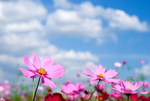 Pink cosmos field and sky Wall Mural Wallpaper - Canvas Art Rocks - 1
