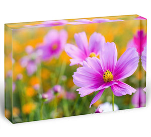 Pink cosmos in the flower fields Acrylic Block - Canvas Art Rocks - 1