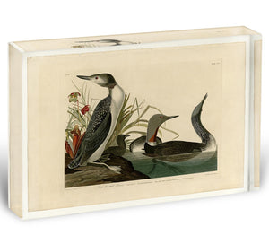 Red Throated Diver by Audubon Acrylic Block - Canvas Art Rocks - 1
