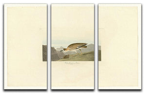 Rocky Mountain Plover by Audubon 3 Split Panel Canvas Print - Canvas Art Rocks - 1