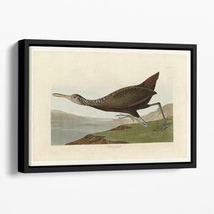 Scolopaceus Courlan by Audubon Floating Framed Canvas