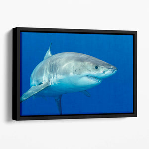 Shark swimming looking for food Floating Framed Canvas