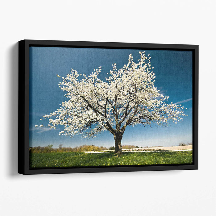 Single blossoming tree in spring Floating Framed Canvas