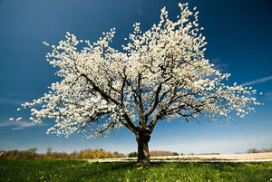 Single blossoming tree in spring Wall Mural Wallpaper - Canvas Art Rocks - 1
