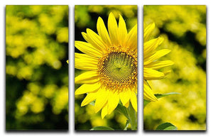 Sunflowers bloom in summer 3 Split Panel Canvas Print - Canvas Art Rocks - 1