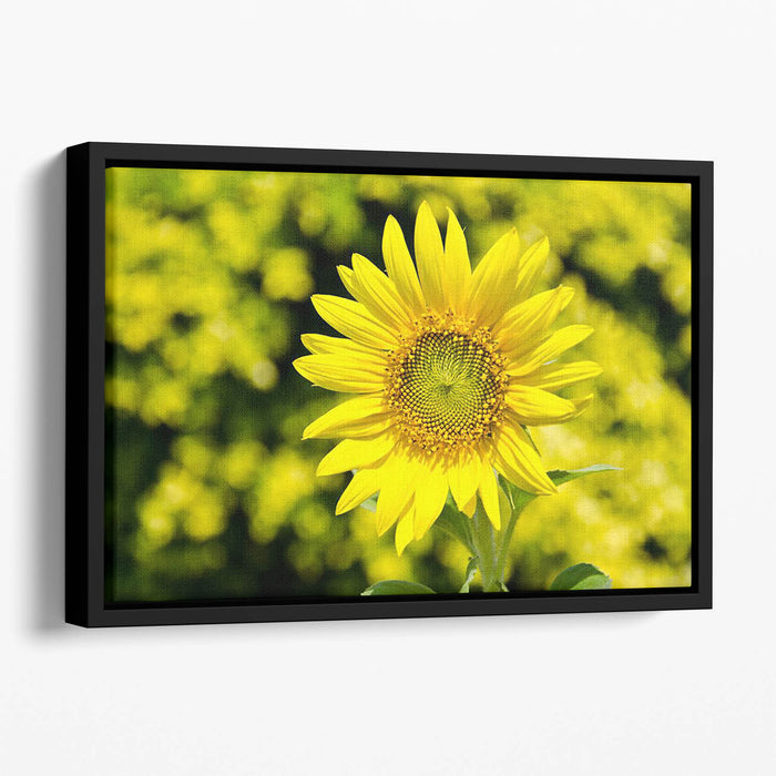 Sunflowers bloom in summer Floating Framed Canvas