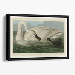 Trumpeter Swan by Audubon Floating Framed Canvas