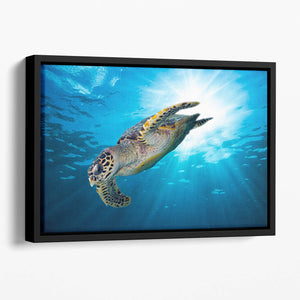 Turtle dive Floating Framed Canvas