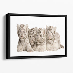 White Tiger cubs 2 months Floating Framed Canvas - Canvas Art Rocks - 1