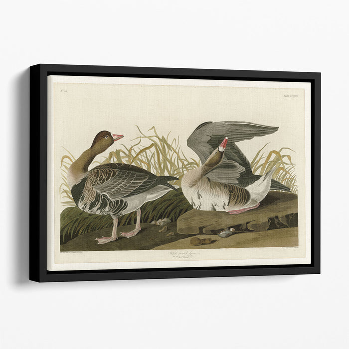 White fronted Goose by Audubon Floating Framed Canvas