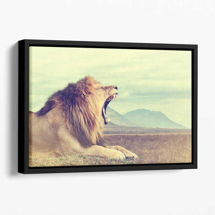 Wild african lion Floating Framed Canvas