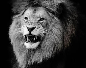 Wild lion portrait in black and white. Wall Mural Wallpaper - Canvas Art Rocks - 1