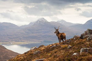 Wild stag overlooking Loch Torridon Wall Mural Wallpaper - Canvas Art Rocks - 1