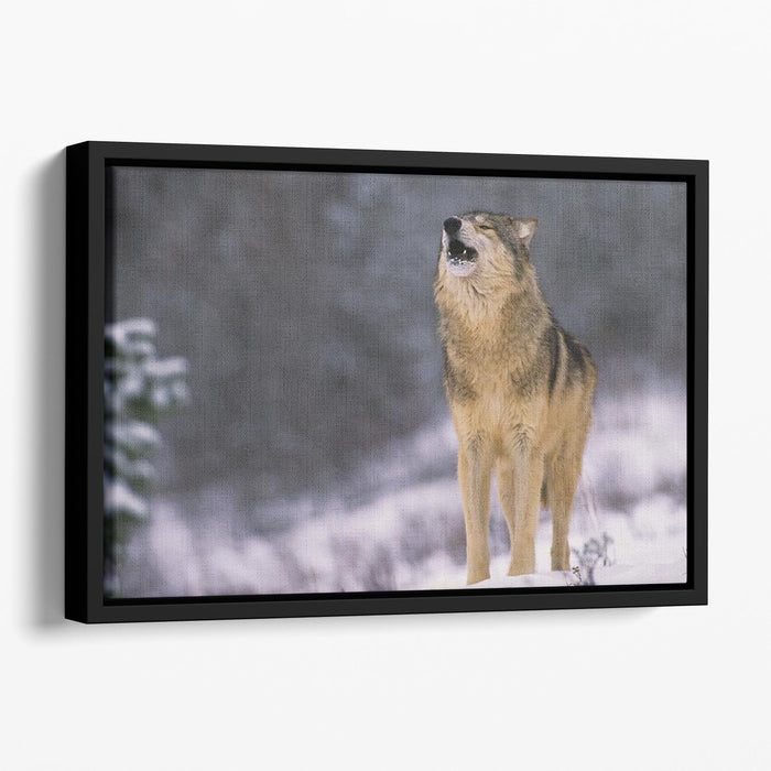 Wolf Howling in White Snow Floating Framed Canvas