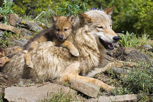 Wolf cubs and mother at den site Wall Mural Wallpaper - Canvas Art Rocks - 1