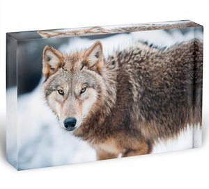 Wolf standing in the snow Acrylic Block - Canvas Art Rocks - 1