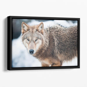 Wolf standing in the snow Floating Framed Canvas - Canvas Art Rocks - 1