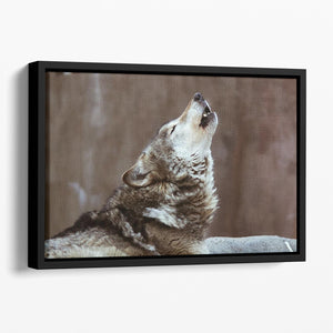 Wolves howl in Moscow Zoo Floating Framed Canvas - Canvas Art Rocks - 1