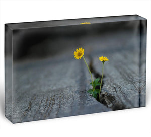 Yellow flower growing in street Acrylic Block - Canvas Art Rocks - 1
