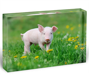 Young funny pig Acrylic Block - Canvas Art Rocks - 1