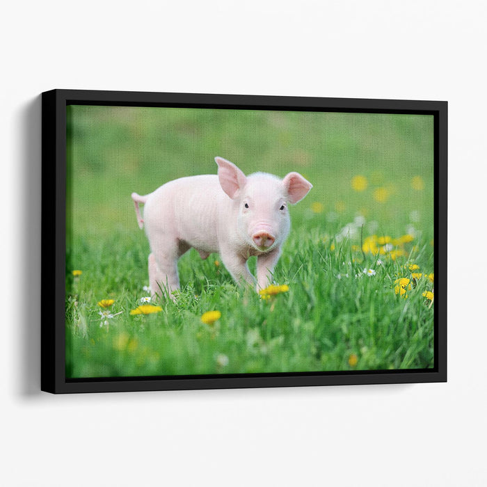 Young funny pig Floating Framed Canvas